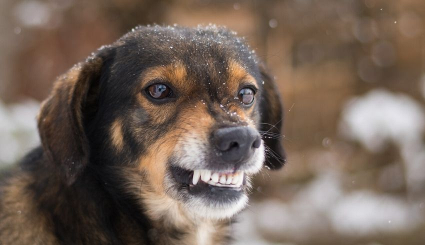 Waarom je een grommende hond niet moet corrigeren  als jij iets aan het gedrag wil veranderen.