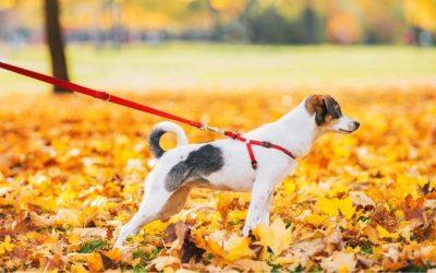 Wat kan je doen als jouw hond enorm aan de lijn gaat trekken als hij een andere hond ziet?