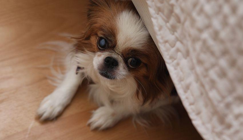 Hond angst voor visite