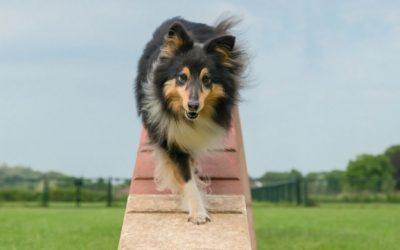 Honden leren contextgebonden. Dat hij iets thuis kan, wil niet zeggen dat hij het overal kan.