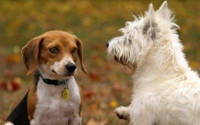 Hoe zelfs een hele sociale en enthousiaste hond op den duur uitvalgedrag kan ontwikkelen