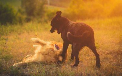 Wat te doen als er steeds loslopende honden op jouw uitvallende hond afstormen?