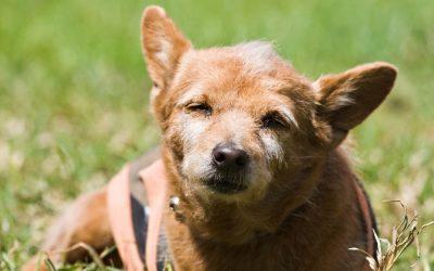 Vergelijk je nieuwe hond niet met je oude hond. Het is niet eerlijk naar de nieuwe hond toe.